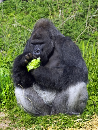 A western lowland silver back male gorilla eating vegatables sitting against a green folliage background photo