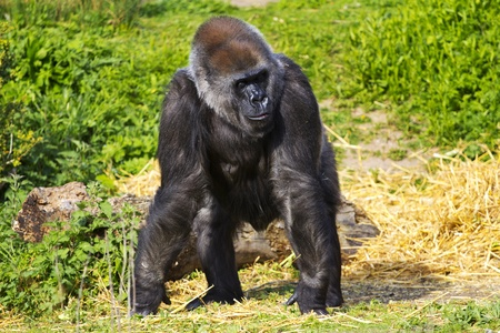 facing right: A female western lowland gorilla standing facing forward and looking to the right