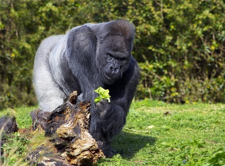 vegatation: A large silver back male western lowland gorilla eating vegatation standing behind a fallen tree