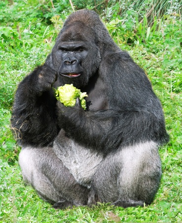 simian:  large male silver back western lowland gorilla (gorilla gorilla gorilla) eating vegation in a seating position