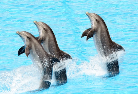 Three bottlenose dolphins performing a tail stand photo