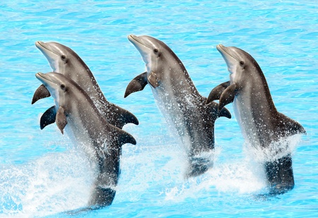 A group of bottlenose dolphins performing a tail stand