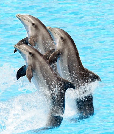 dolphin: A group of bottlenose dolphins performing a tail stand