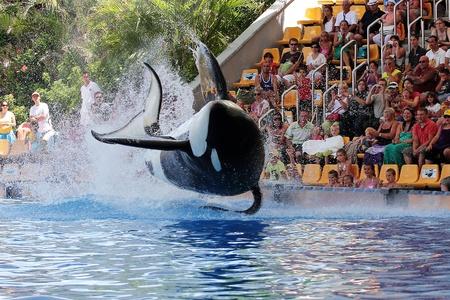 PUERTO DE LA CRUZ, TENERIFE - AUGUST 31: New Orca Ocean exhibit has helped the Loro Parque become Tenerife's second most popular attraction on August 31, 2011 in Puerto De La Cruz, Tenerife. Stock Photo - 10911872
