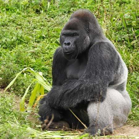 An adult siverback male gorilla feeding on vegatation  photo