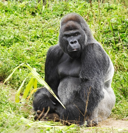 A male silver back gorilla sitting holding a piece of vegetation photo