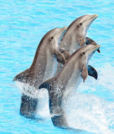 dolphins: A group of bottlenose dolphins performing a tail stand