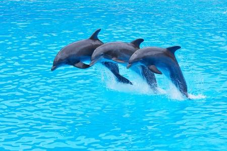 delfin: Trzy delfiny bottlenose, w Tursiops truncatus, skaczący w formacji
