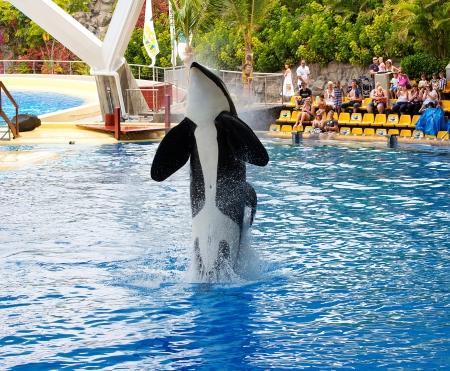 PUERTO DE LA CRUZ, TENERIFE - JULY 4: New Orca Ocean exhibit has helped the Loro Parque become Tenerife's  most popular man made  attraction on July 4 2012 in Puerto De La Cruz, Tenerife. Stock Photo - 14682606