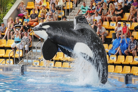 PUERTO DE LA CRUZ, TENERIFE - JULY 4: New Orca Ocean exhibit has helped the Loro Parque become Tenerife's  most popular man made  attraction on July 4 2012 in Puerto De La Cruz, Tenerife. Stock Photo - 14682608
