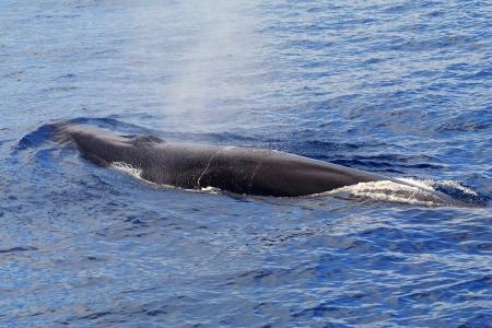 Ein Belag Finnwal (Balaenoptera physalus) das zweitgrößte Tier auf dem Planeten nach dem Blauwal