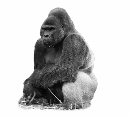 A black and white image of a male silverback western lowland gorilla isolated on white