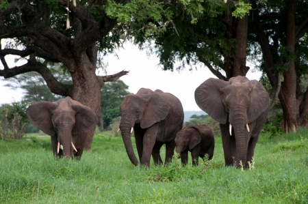 Elephants in africa photo
