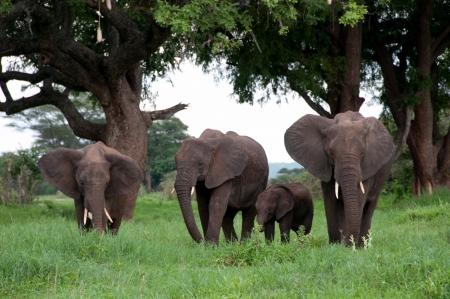 Elephants in africa Stock Photo - 13635282