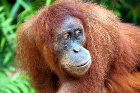 Orangutan in Sumatra Stock Photo - 13657009