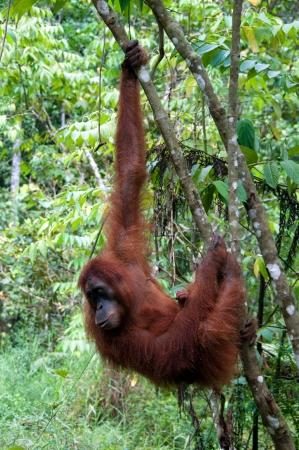 orangutang: Orangutan in Sumatra
