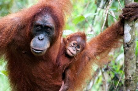 biped: Orangutan in Sumatra