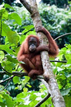 female nipple: Orangutan a Sumatra Archivio Fotografico