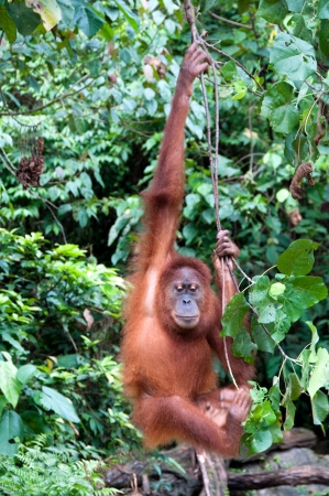 Orangutan in Sumatra photo