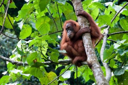hominid: Orangutan di Sumatra Archivio Fotografico