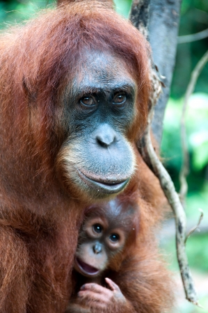 simian: Orangutan in Sumatra