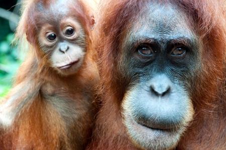 hominid: Orangutan a Sumatra Archivio Fotografico