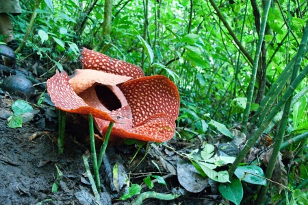 biggest: Rafflesia, the biggest flower in the world , Borneo, Malaysia Stock Photo