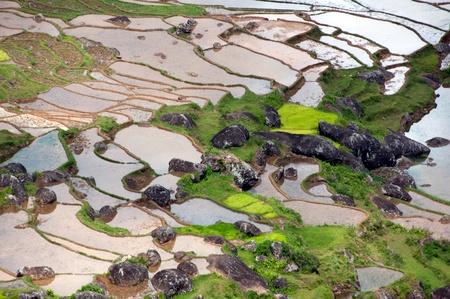 padi: Rice padi Stock Photo