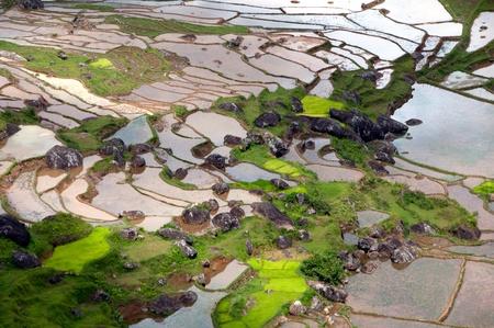 padi: Rice padi Editorial