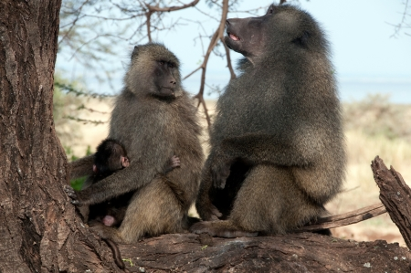 Olive Baboon in Kenya Posing photo