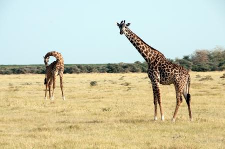 Giraffes herd in savannah photo