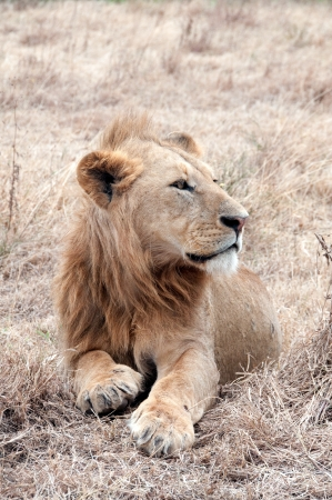 African lion Stock Photo - 13695765