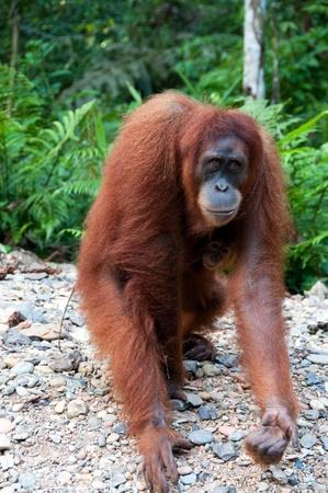 orang: Orangutan in Sumatra, Indonesia