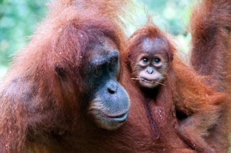 biped: Orangutan in Sumatra, Indonesia