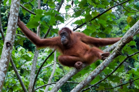 Orangutan in Sumatra, Indonesia photo
