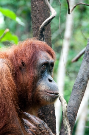 Orangutan in Sumatra, Indonesia Stock Photo - 13694781