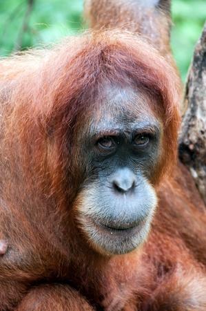 Orangutan in Sumatra, Indonesia Stock Photo - 13694879