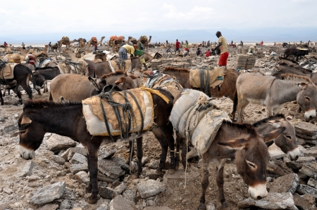 mineros: Dallol, ETIOP�A - Nov 25 mineros de la sal en Dallol, sal de excavaci�n en el lugar m�s caliente en la Tierra, con un promedio de 34 � C durante todo el a�o el 25 de noviembre de 2011 en Dallol, Etiop�a