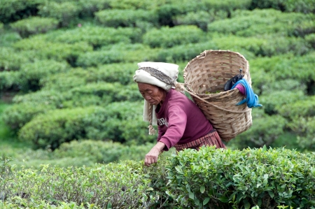 DARJEELING, INDIA - AUGUST 20  Women picks tea leafs on the famous Darjeeling tea garden during the monsoon season on August 20, 2010  The majority of the local population are immigrant Nepalis  INDIA