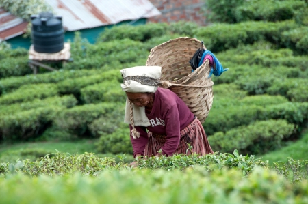 darjeeling: DARJEELING, INDIA - AUGUST 20  Women picks tea leafs on the famous Darjeeling tea garden during the monsoon season on August 20, 2010  The majority of the local population are immigrant Nepalis  INDIA