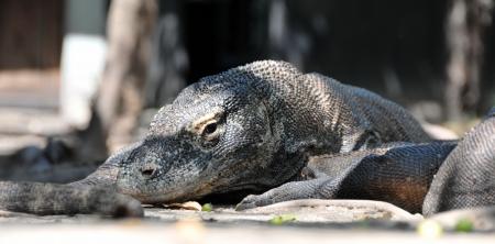 merciless: The Komodo dragon, Varanus komodoensis, is the biggest living lizard in the world, Indonesia