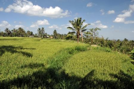 Rice padi photo