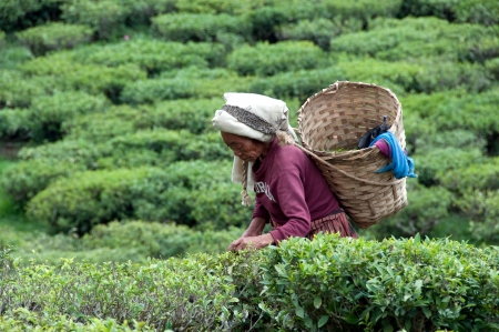 DARJEELING, INDIA - MAY 20  Women picks tea leafs on the famous Darjeeling tea garden during the monsoon season on May20, 2011  The majority of the local population are immigrant Nepalis  INDIA