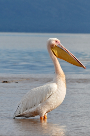 Portrait of a Great White Pelican Stock Photo - 15882070