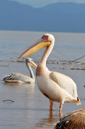 Portrait of a Great White Pelican photo