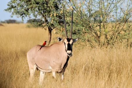 oryx: Oryx