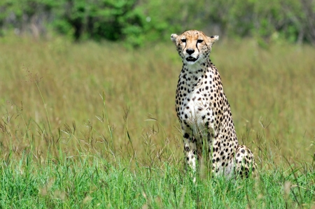 Cheetah Stock Photo - 15882134