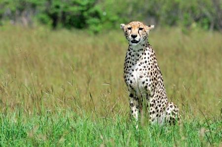Cheetah Stock Photo - 15882134