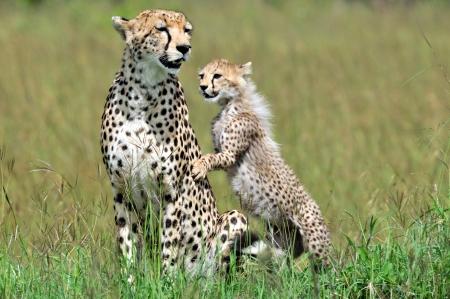 cheetah cub: A cheetah  Acinonyx jubatus  and cheetah cub on the Masai Mara National Reserve safari in southwestern Kenya  Stock Photo