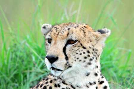 Cheetah Stock Photo - 15880514